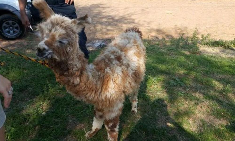 La llama ya está en el Zoológico de Asunción. Foto: //Últimahora.com.py