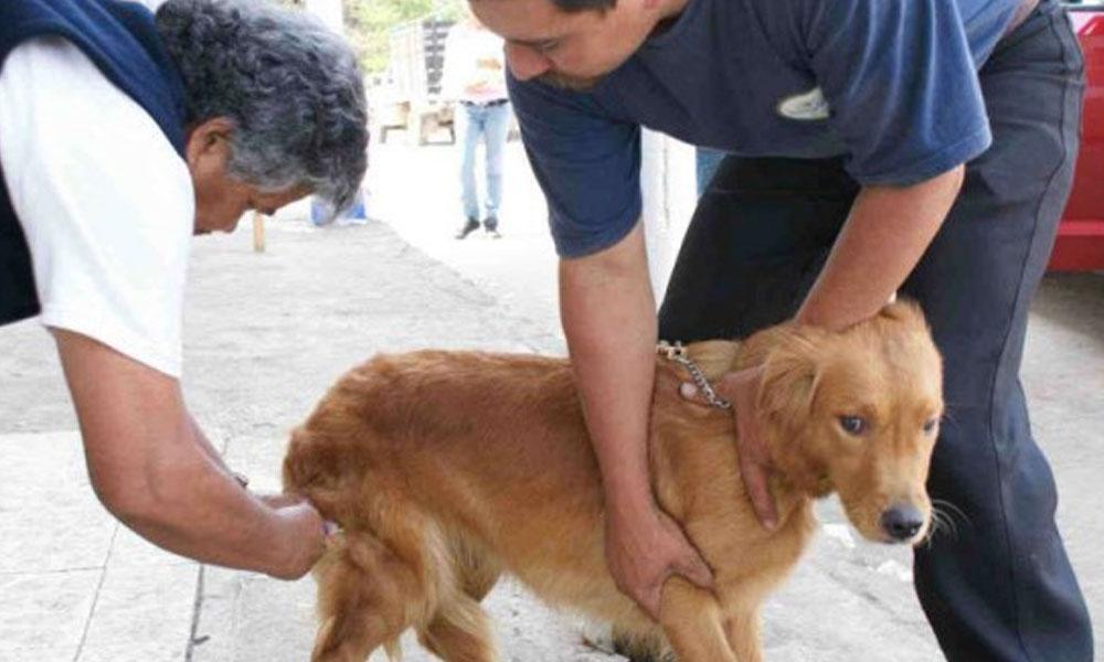 En el 99 % de los casos, la enfermedad es transmitida por los perros, aunque también la contagian murciélagos, gatos, ratas, mofetas y zorros. //elgraficotam.com
