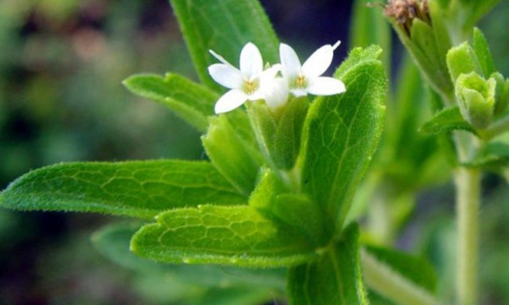 Empresarios suecos se interesan por la producción de stevia en Paraguay. Foto://Ultimahora.com