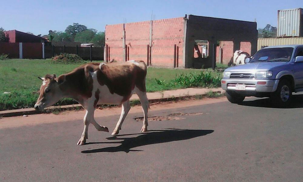Una vaca circula libremente por las calles de la ciudad ante la desidia de la Municipalidad de Coronel Oviedo. //OviedoPress