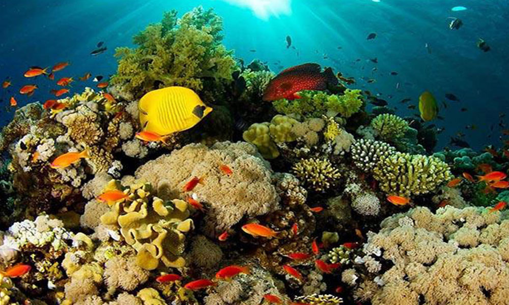 Protegido por las leyes japonesas por tratarse de una reserva natural, el arrecife cuenta con más de 70 especies de corales y es considerado uno de los más antiguos del hemisferio norte. //Infobae.com