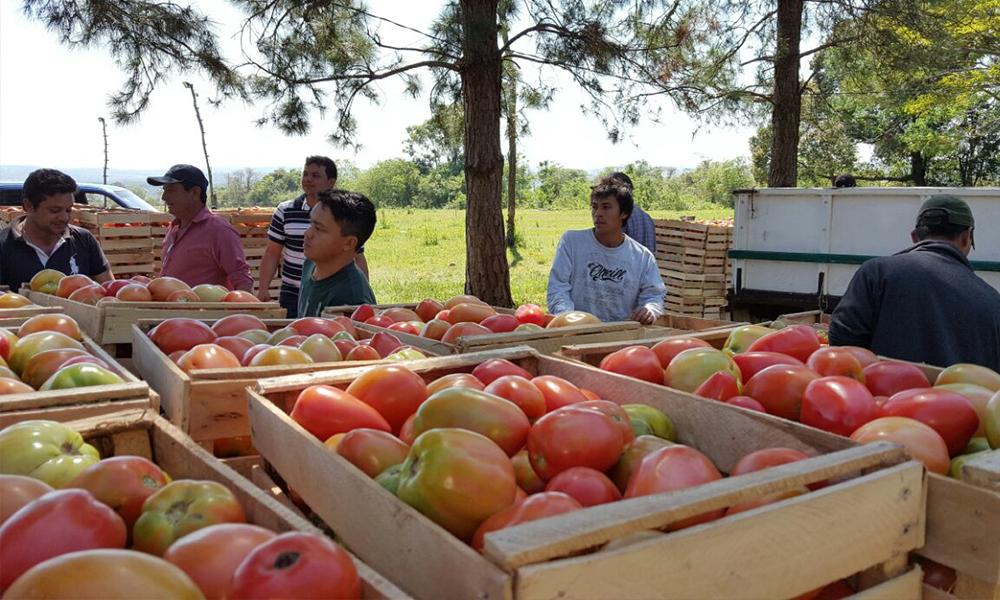 Productores de tomate en el proceso de selección y encajonamiento de la producción, antes de ser enviados a los centros comerciales. //OviedoPress
