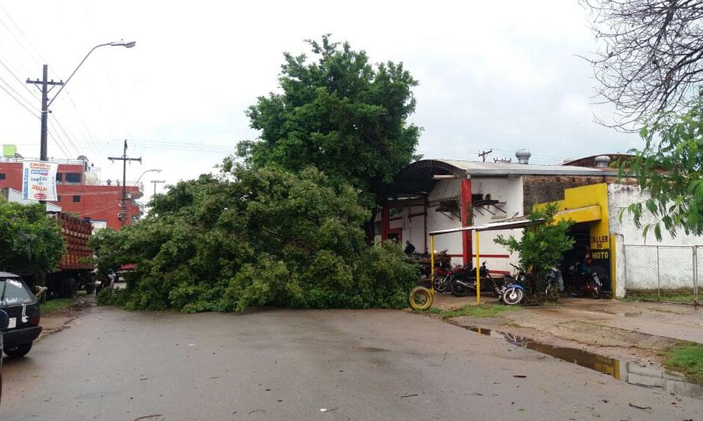 El árbol obstaculiza el tránsito vehicular sobre la calle Carmelo Peralta de la ciudad de Coronel Oviedo. //Gentileza
