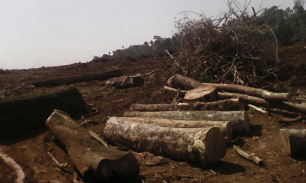 Inmensas hectáreas de bosque son deforestadas en Baúl A. Oviedo