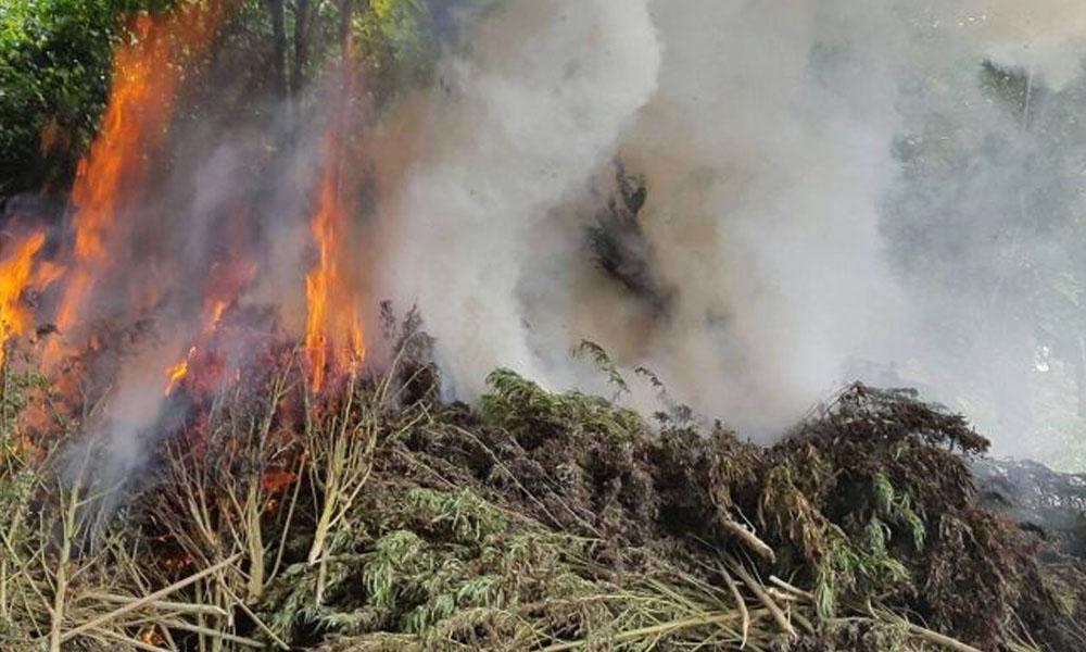 El fiscal ordenó la quema de toda la marihuana encontrada. //v3.amambay570.com.py
