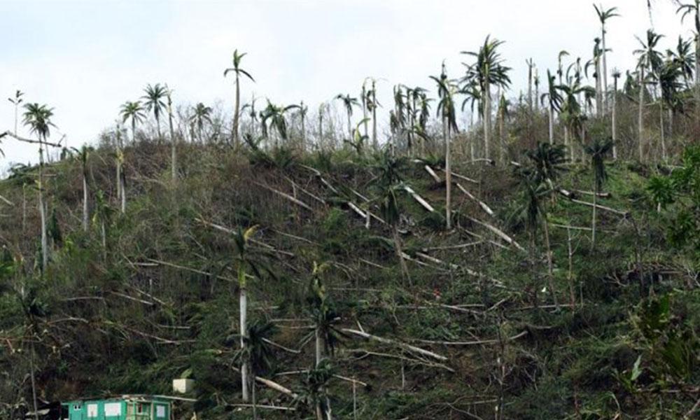 Palmas arrasadas en Baracoa (Cuba). Foto://EFE