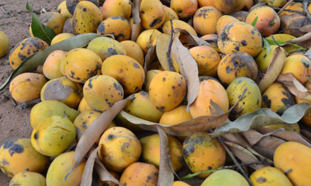 Pese a sus beneficios para la salud, los mangos terminan como cualquier otro desperdicio.