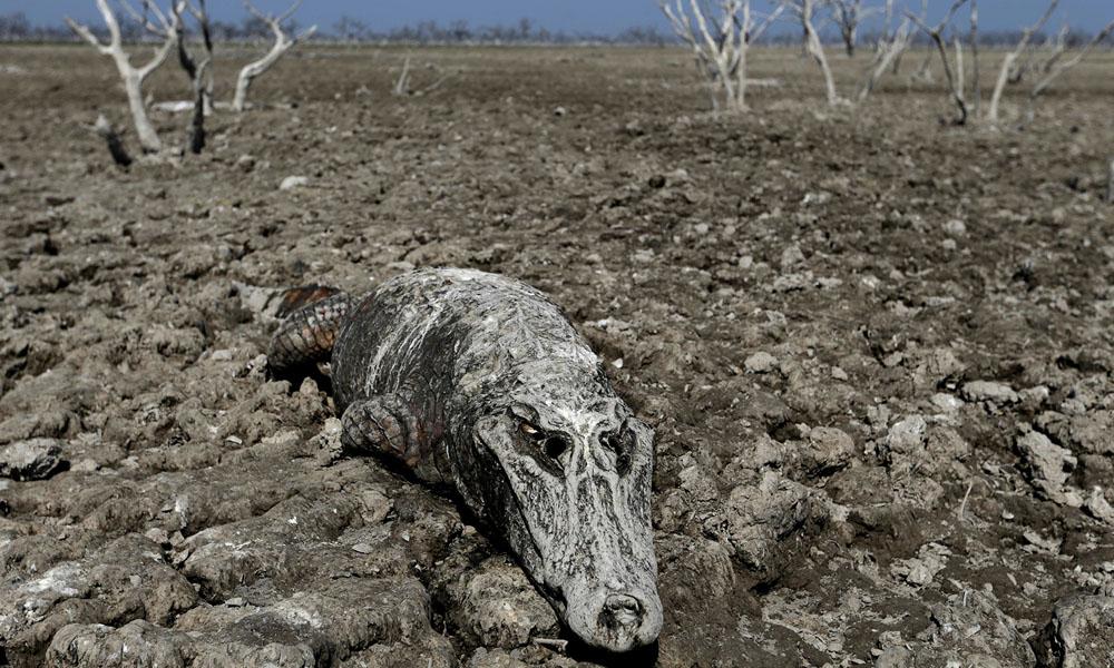 Decenas de cocodrilos y peces mueren a diario debido a la sequía del Río Pilcomayo.