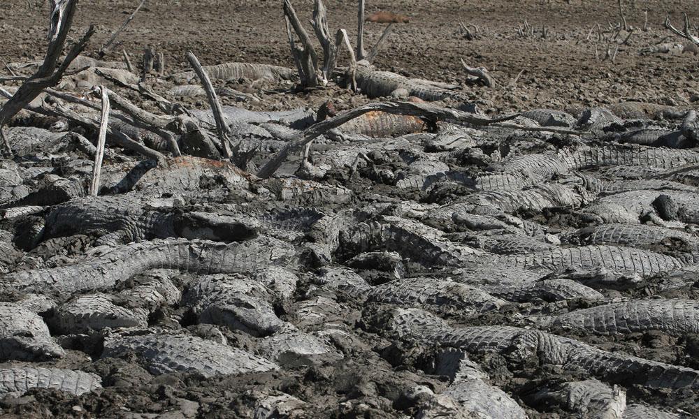 La imagen de los animales atrapados en el barro conmueve a los pobladores que nada pueden hacer ante la falta de agua.