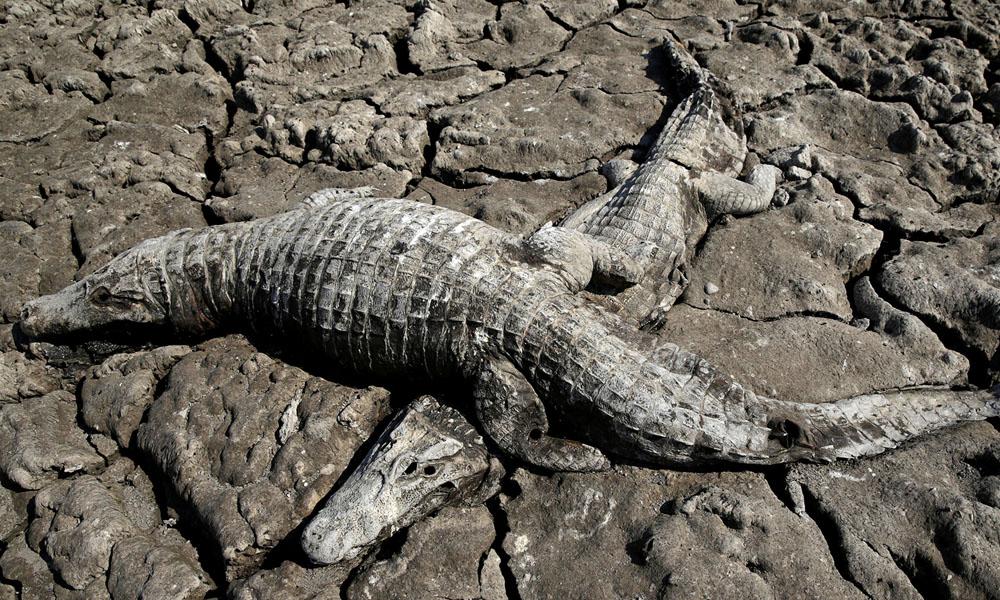 Miles de yacarés mueren sedientos por la peor sequía en 20 años.