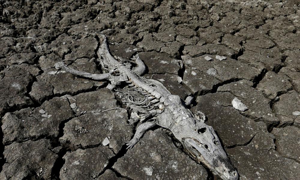 Muchos reptiles mueren de hambre y sed y quedan casi como fósiles, completamente calcinados.