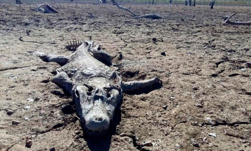 Uno de los cocodrilos muertos por la sequía que sufre el río Pilcomayo. //eltribuno.info